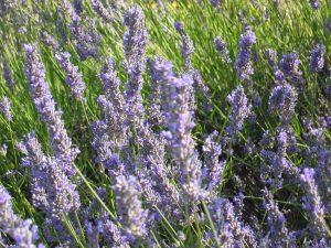 Lavender on Island of Hvar in Croatia