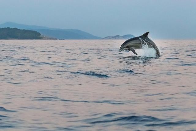 Dolphins near the Hvar coast